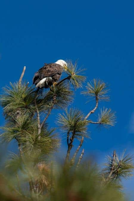 eagle at lake pend oreille in north idaho