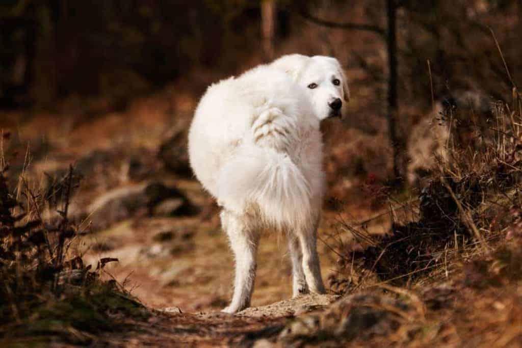Bella the Maremma sheepdog 1 1030x687 1