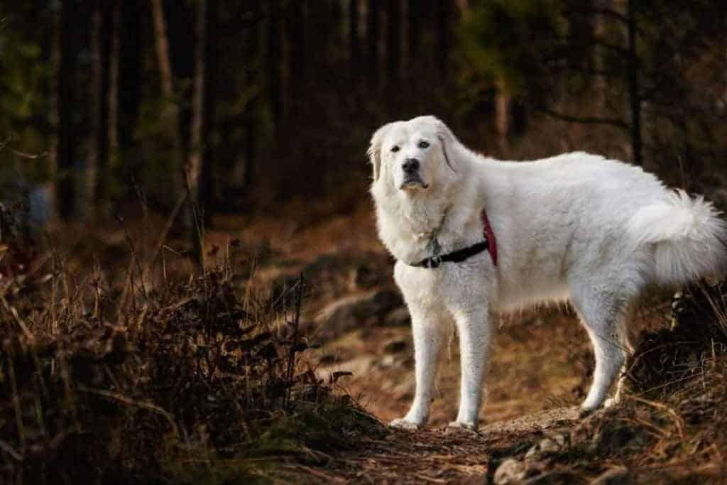 Bella the Maremma sheepdog 2 1030x687 1