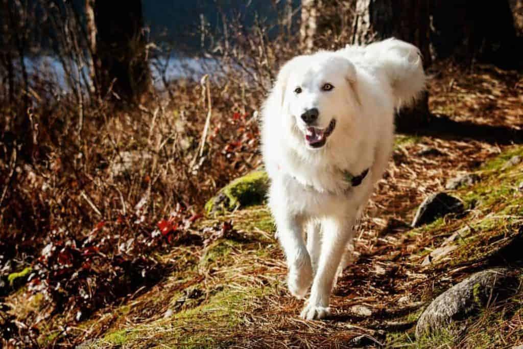 Bella the Maremma sheepdog 3 1030x687 1