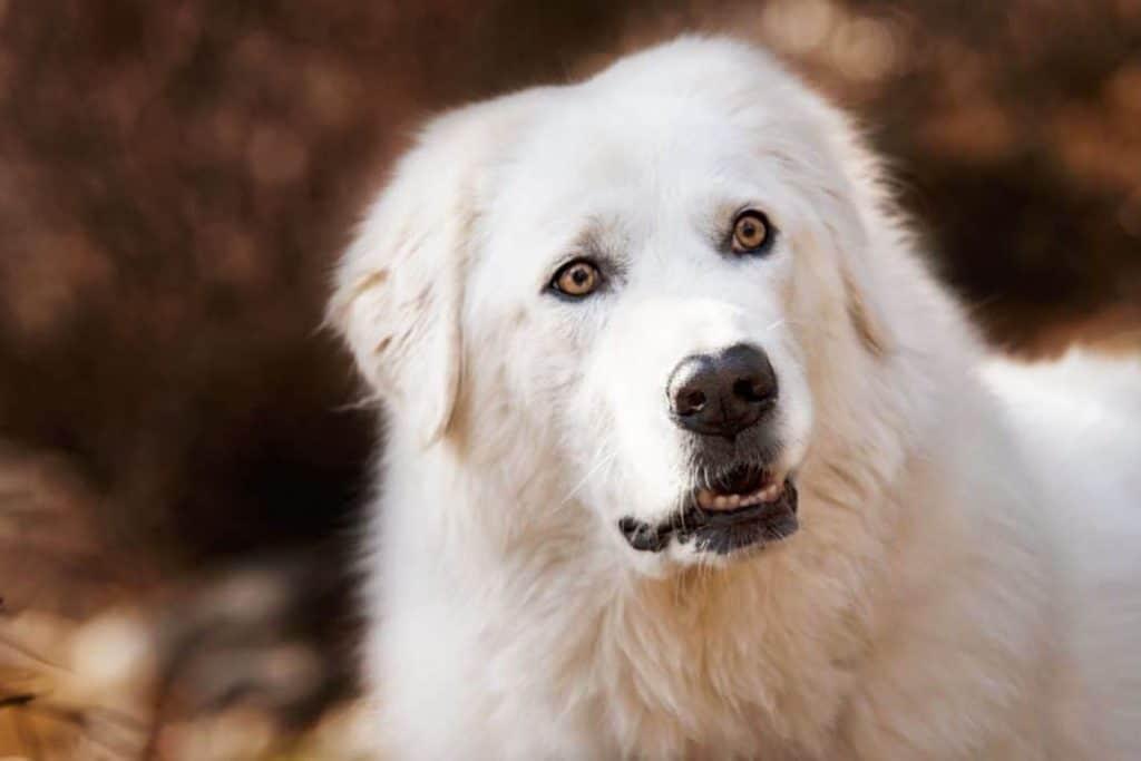 Bella the Maremma sheepdog 4 1030x687 1