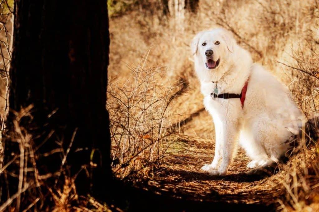 Bella the Maremma sheepdog 5 1030x687 1
