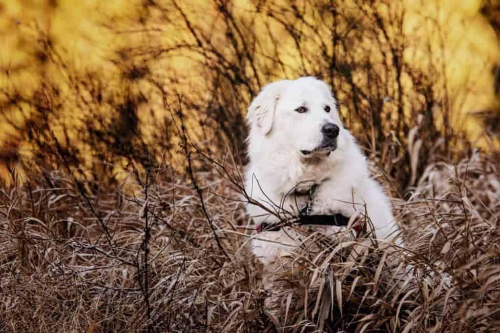 Bella the Maremma sheepdog 6 1030x687 1