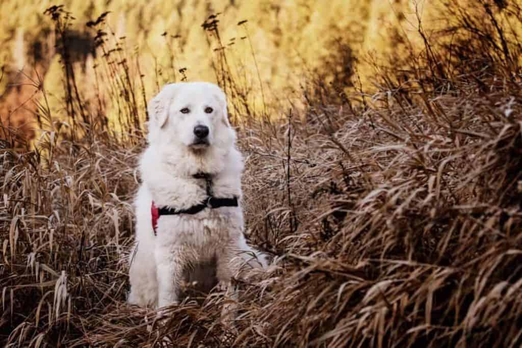 Bella the Maremma sheepdog 8 1030x687 1