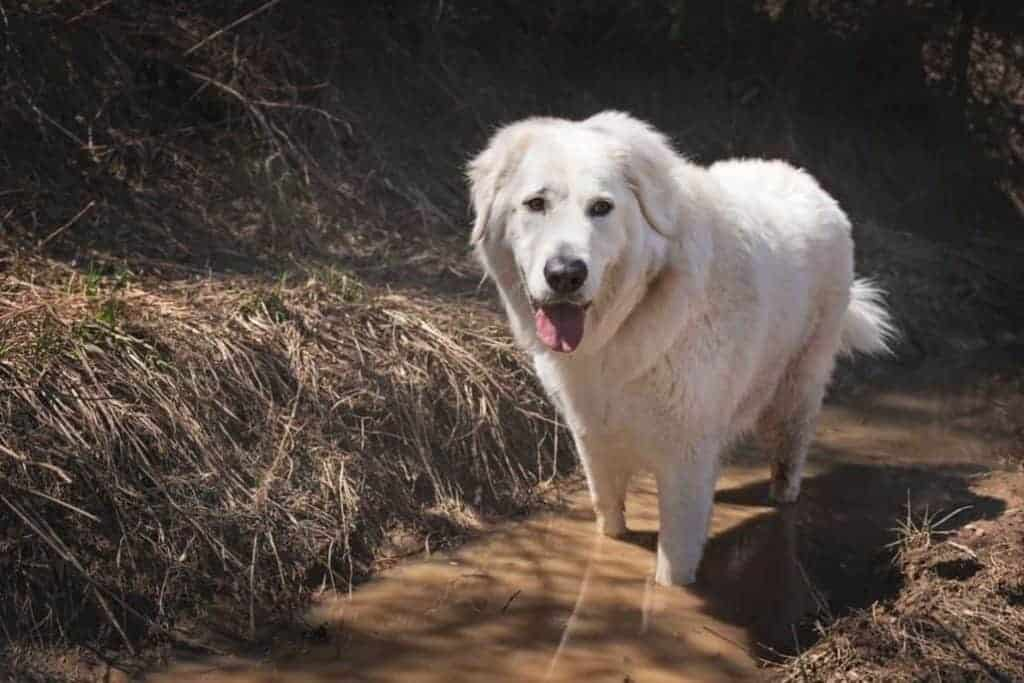 big white dog in a deep muddy puddle