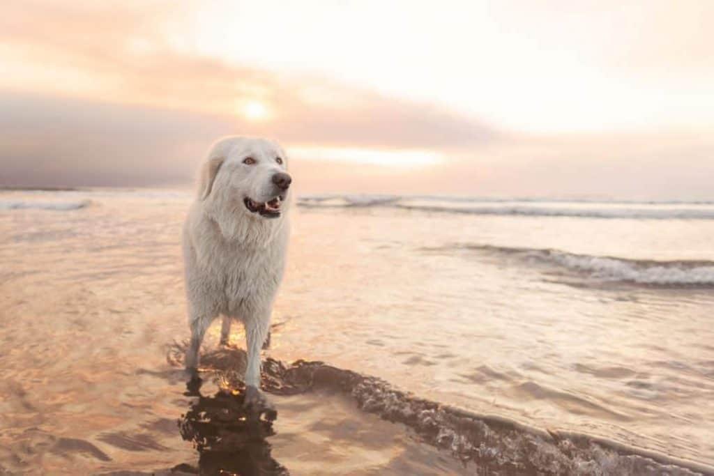 Maremma sheepdog on the beach on the Oregon Coast