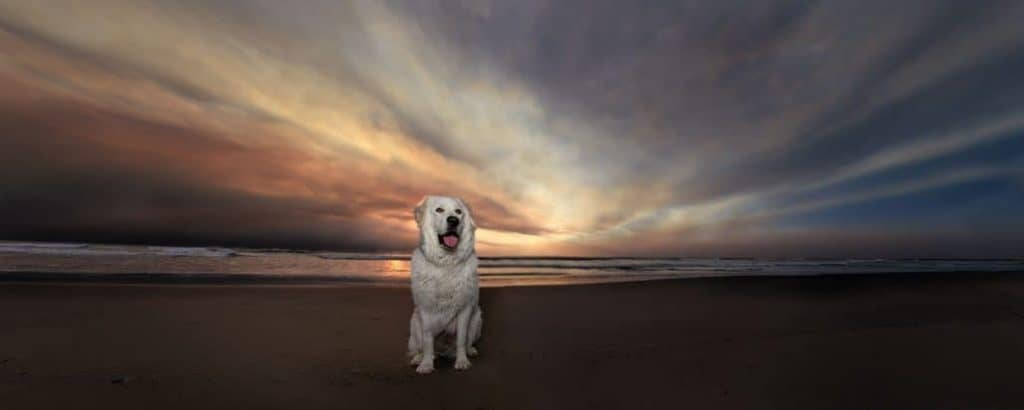 maremma sheepdog at sunset at Rockaway Beach, Oregon