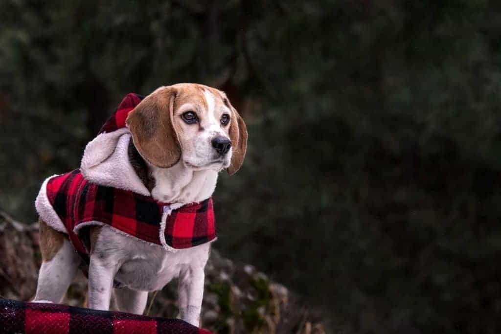 yoda the Spokane Valley beagle