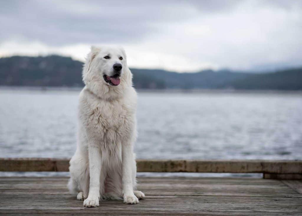 dog on the dock at Coeur d'Alene Resort