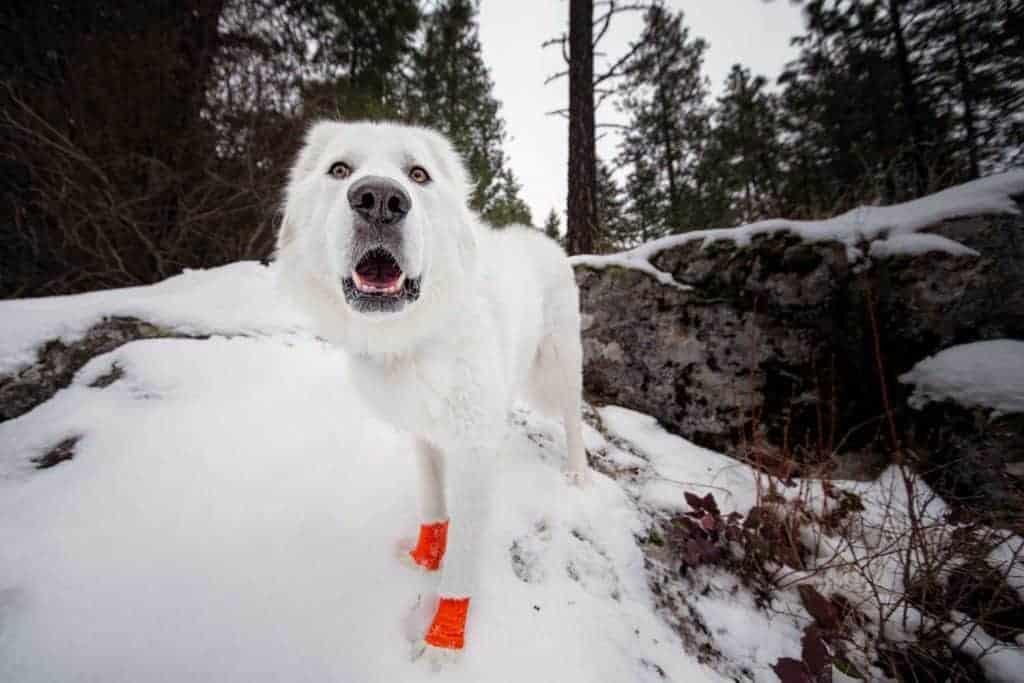 Maremma sheepdog hiking at Hauser Conservation Area