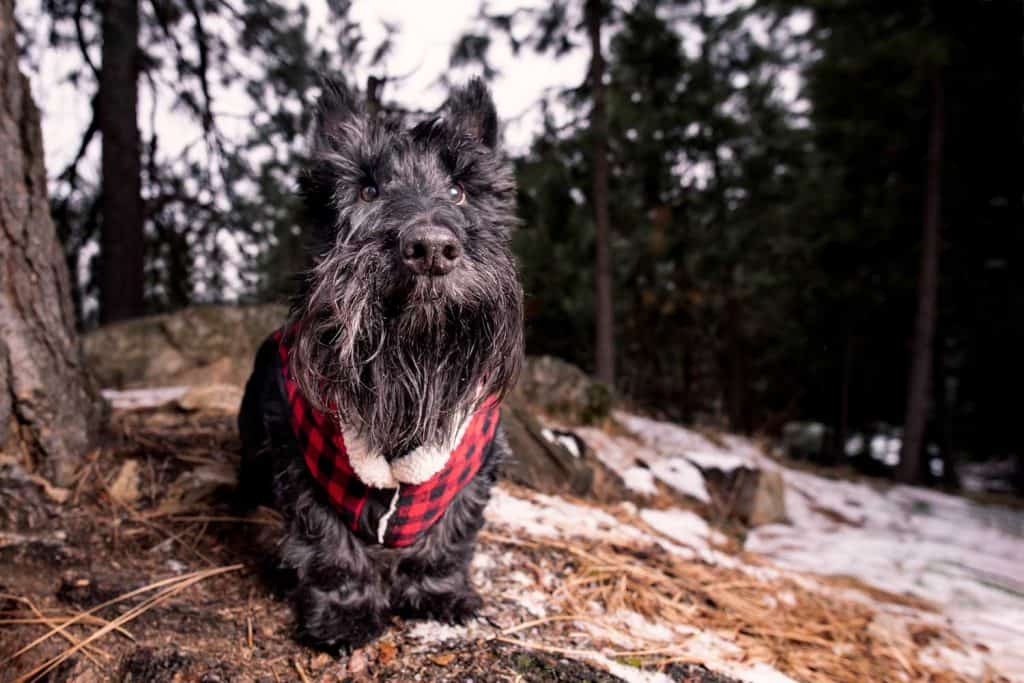 Scottish terrier in buffalo plaid