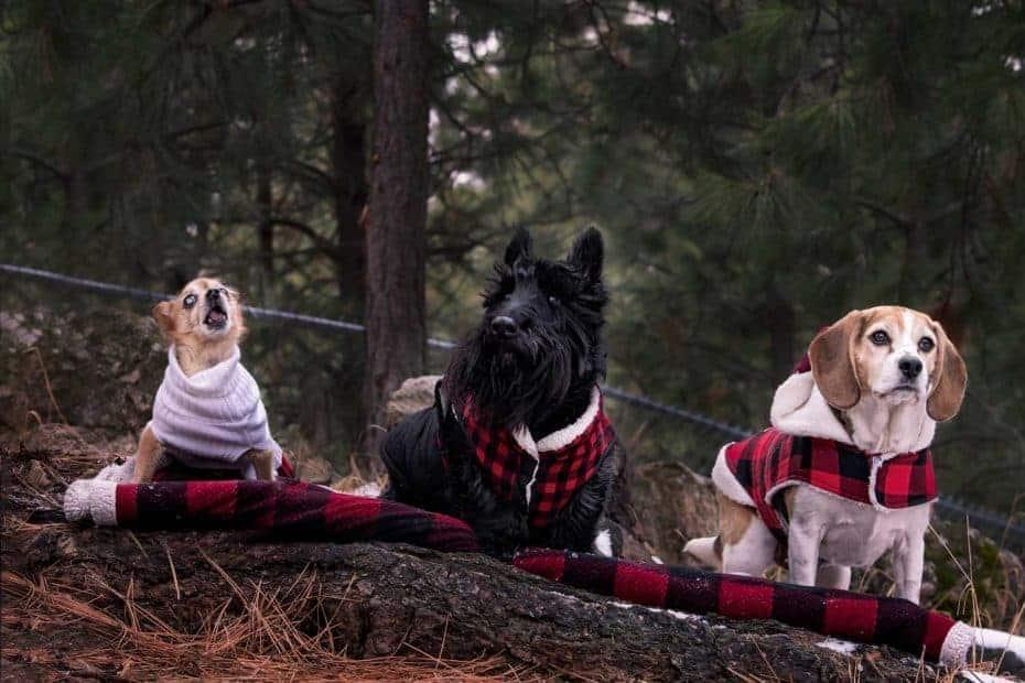 festive Spokane dogs in buffalo plaid