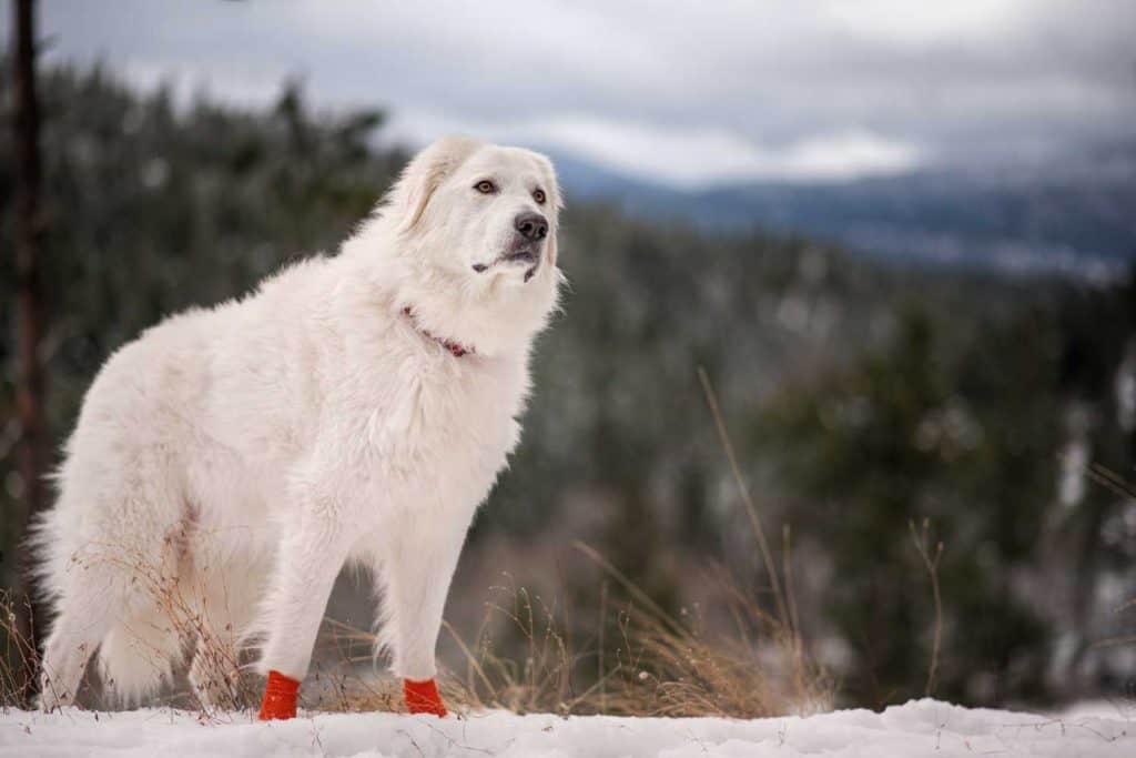Maremma sheepdogs at mountains