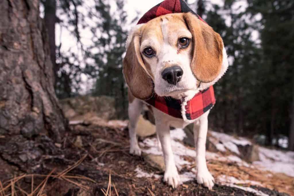 beagle in buffalo plaid