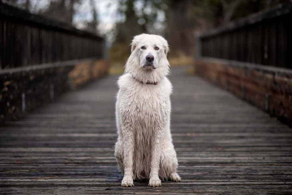 Bella the Maremma sheepdog on Plantes Ferry bridge in Spokane Valley