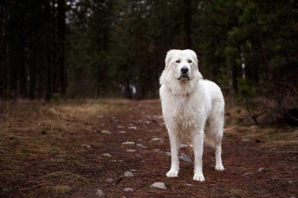 maremma sheepdog on a walk in Spokane Valley during a break in Spokane weather
