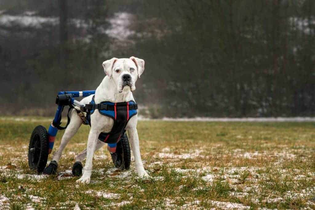 boxer with degenerative myelopathy in a wheelchair