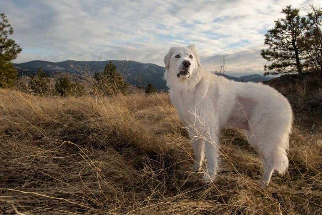 Maremma sheepdog at Saltese uplands