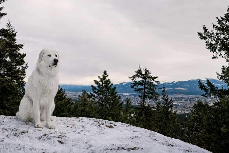 Maremma sheepdog at Antoine Peak