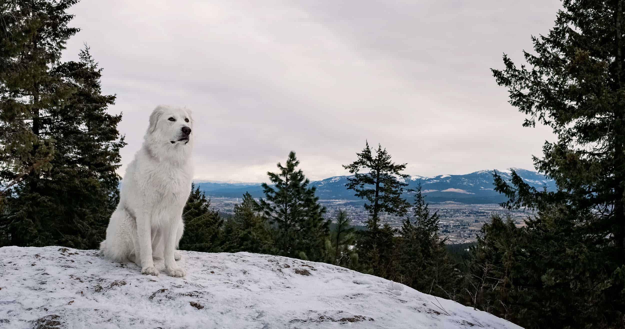 Maremma sheepdog at Antoine Peak