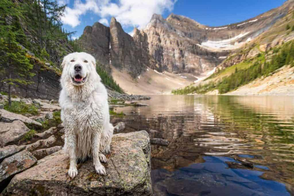 bella the maremma sheepdog at Lake Agnes in Banff National Park, Alberta