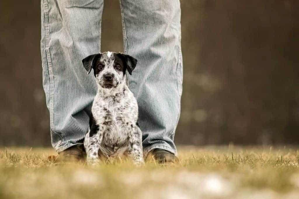 Pitbull mix puppy sitting with human