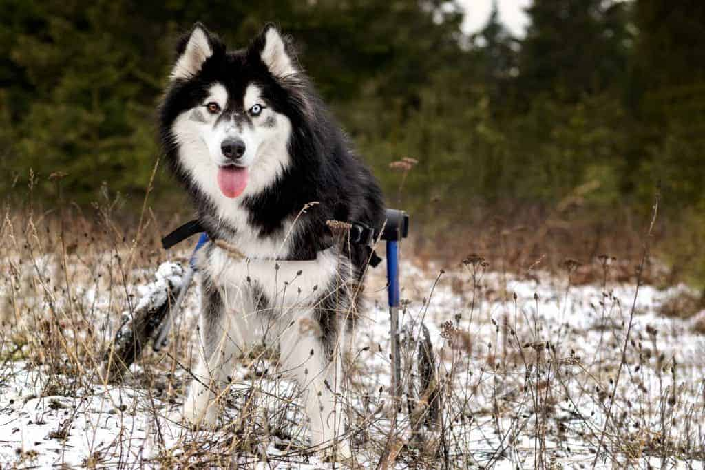 Husky in wheelchair