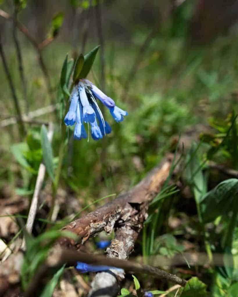 Leafy bluebells 824x1030 1