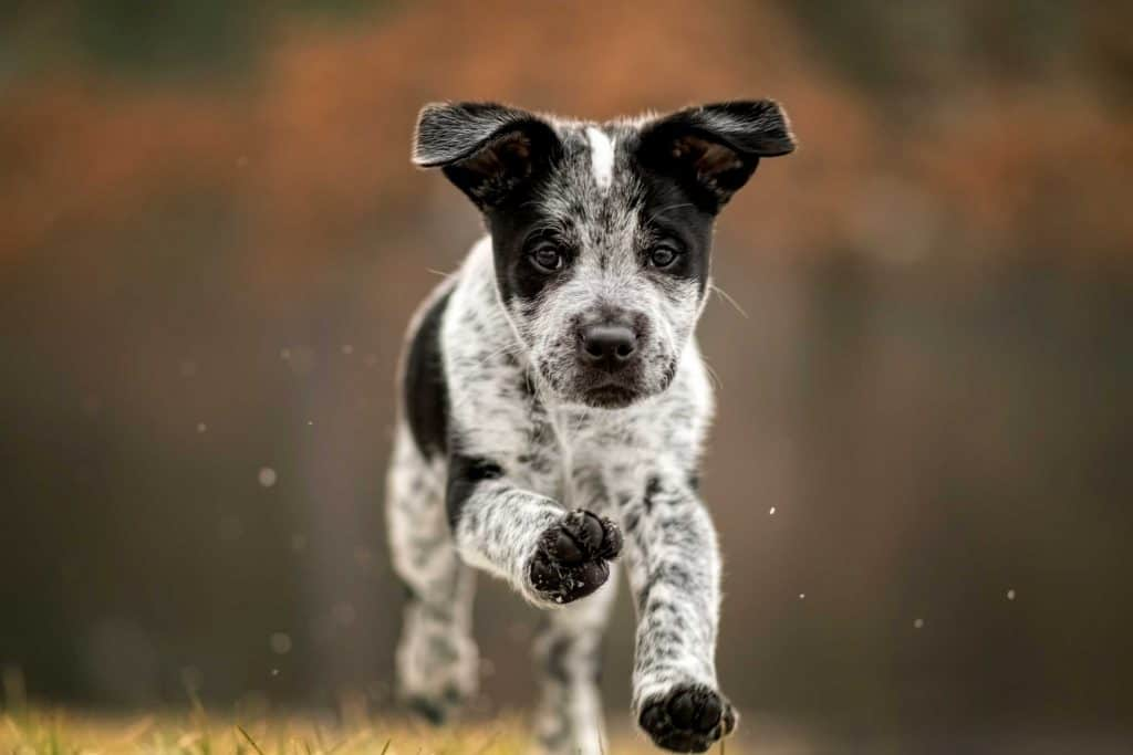 puppy running toward camera