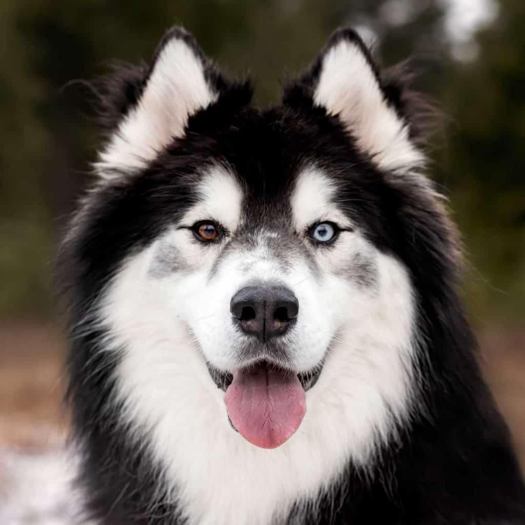 Remington the Idaho rescue dog