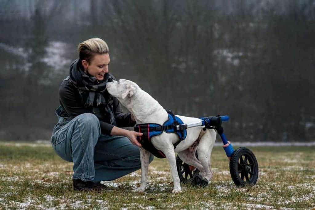 woman with boxer in wheelchair