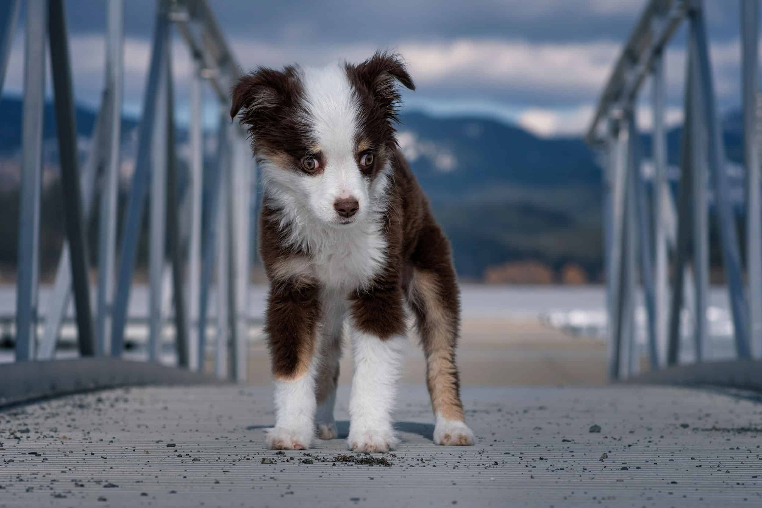 Ausha a blind rescue dog on dock at Hauser Lake in Idaho