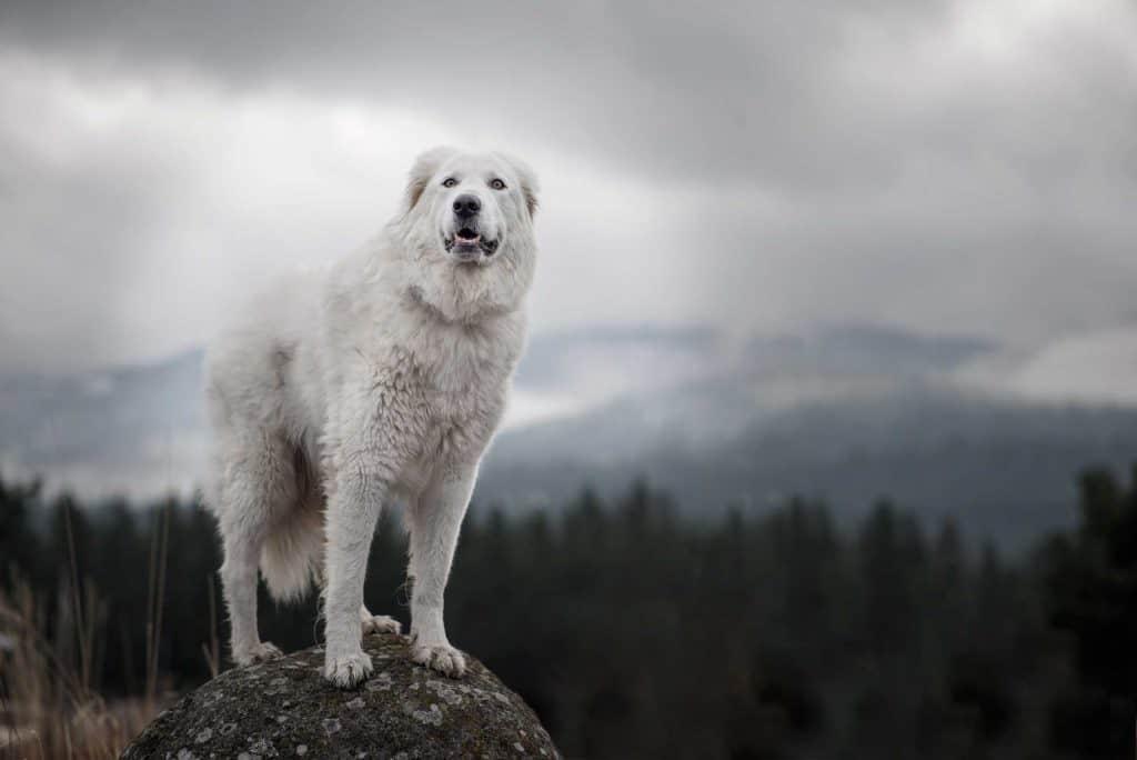 maremma sheepdog on a rock at Post Falls, Idaho
