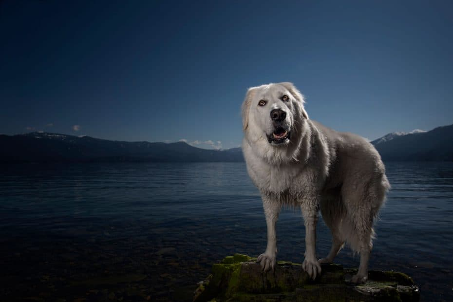 maremma sheepdog on beach while hiking at Evans Landing in North Idaho