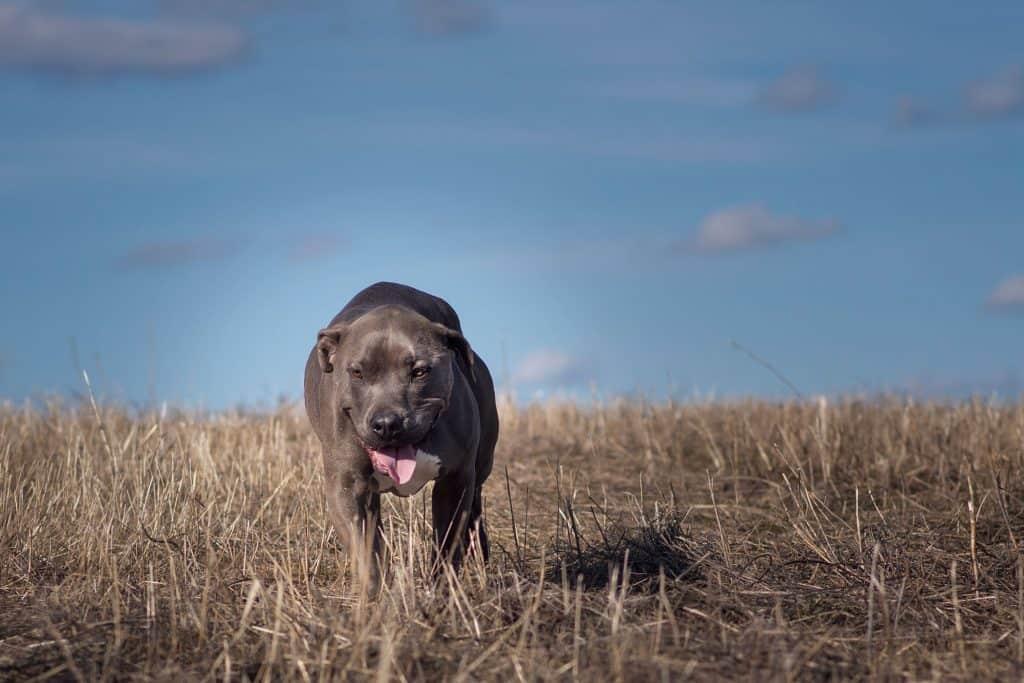 Meatball a Spokane Valley pitbull