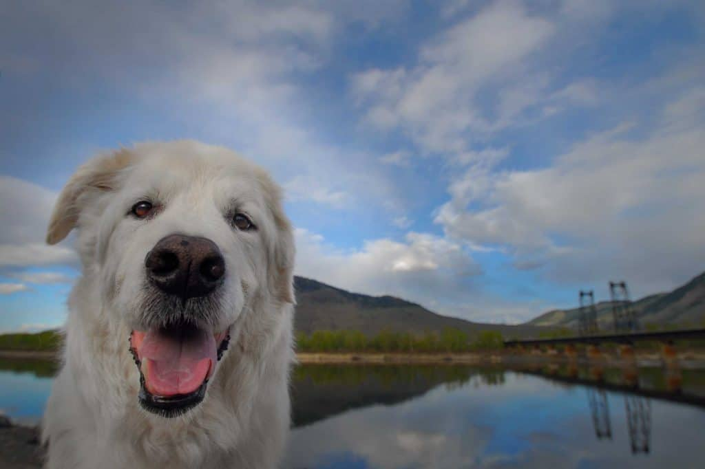 Shep the first dog of a dog photographer in Spokane