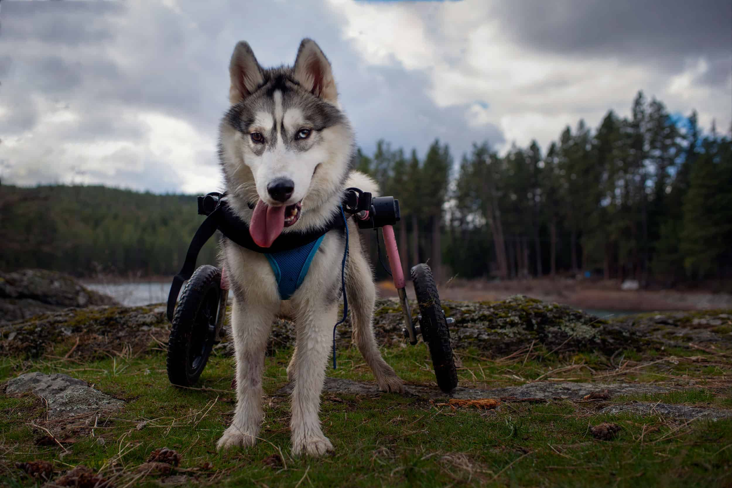 wheelchair rescue dogs at Post Falls Community Forest in Idaho