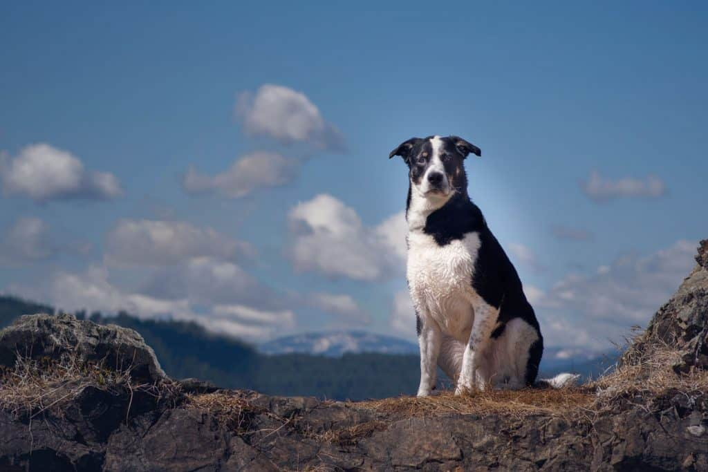 handsome dog against backdrop of beautiful North Idaho scenery