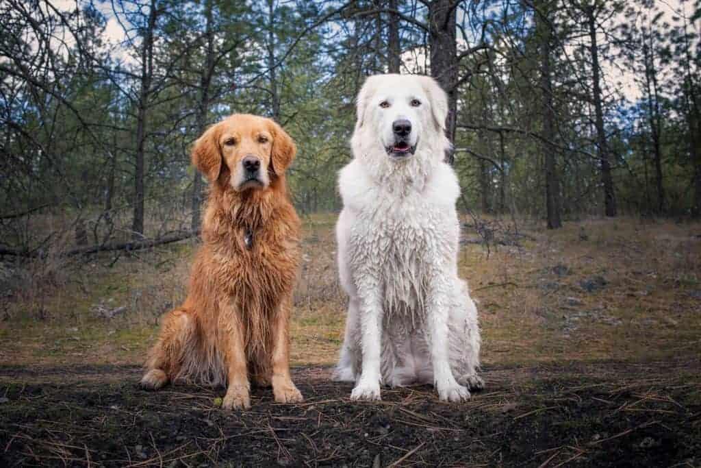 golden retriever and maremma sheepdog hiking in spokane