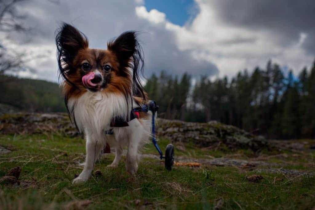 Jake the wheelie dog