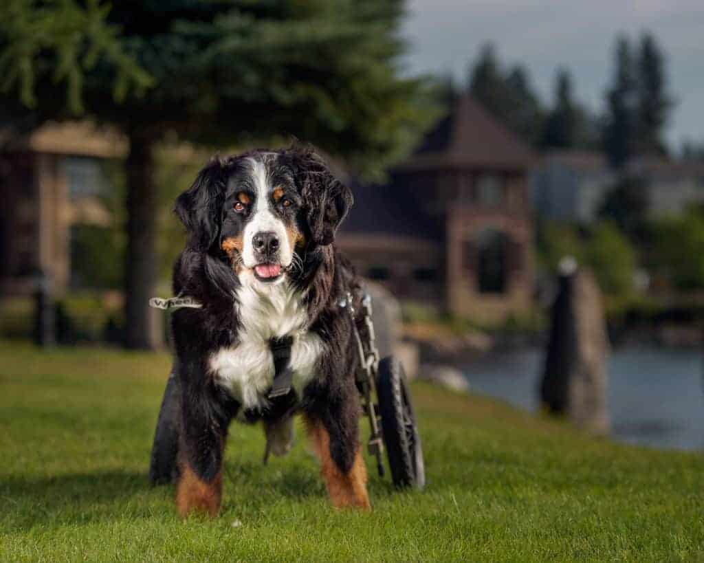 bernese mountain dog at riverstone park in coeur d'alene idaho