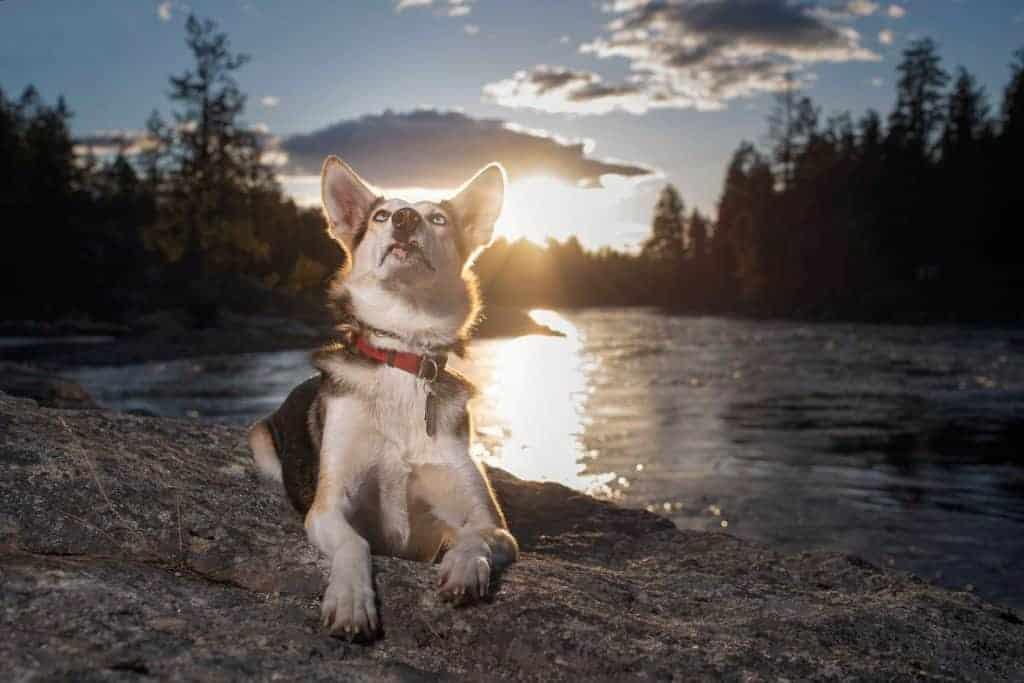 Miniature husky at sunset in Post Falls Idaho