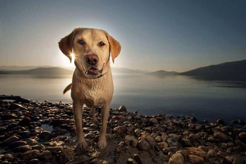 golden Lab at sunrise on Lake Pend Oreille in Sandpoint
