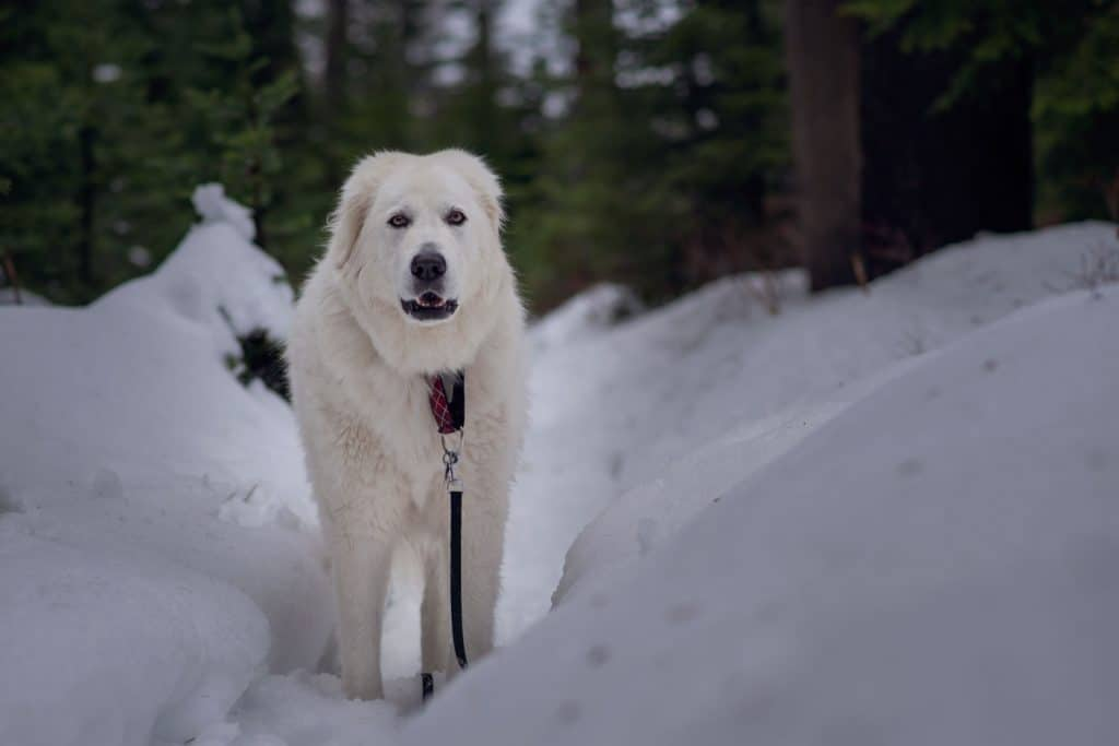 winter hiking with dogs at Mt. Spokane