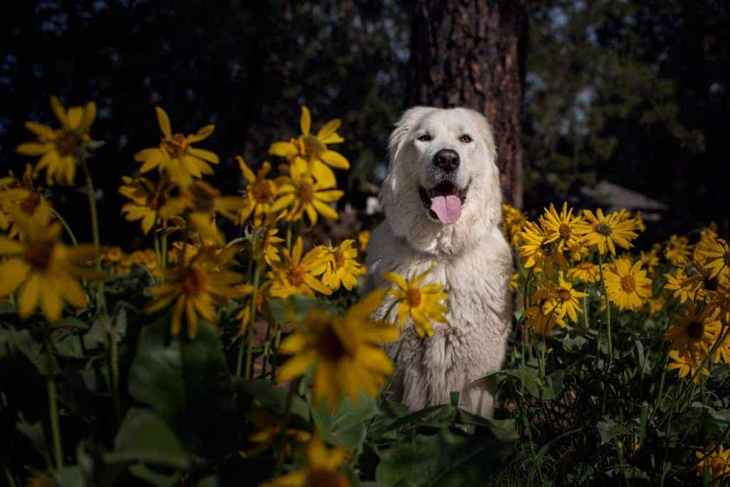 Bella in  balsamroot at South Hill Dog Park