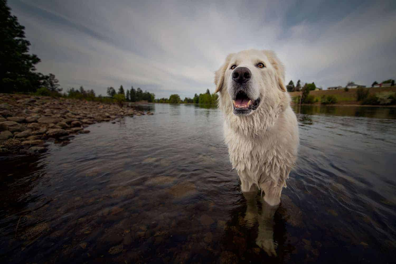 Bella enjoys a dip in the Spokane River at Stateline