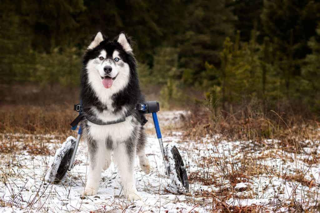 Husky in a wheelchair
