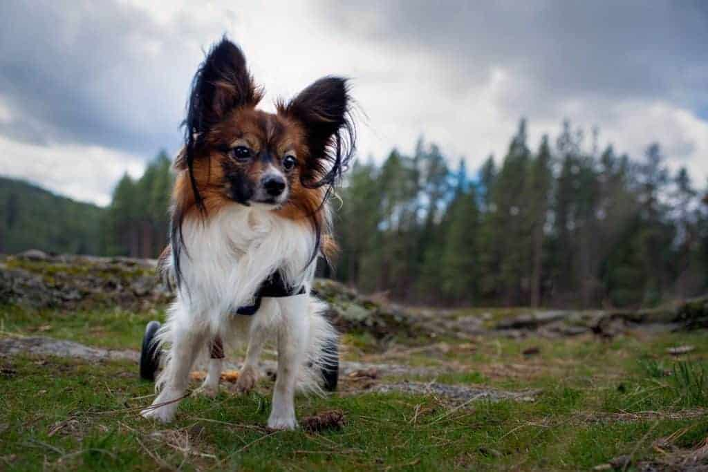 Jake a hemophiliac sanctuary dog 1