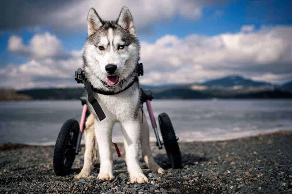 Otis a husky in a wheelchair