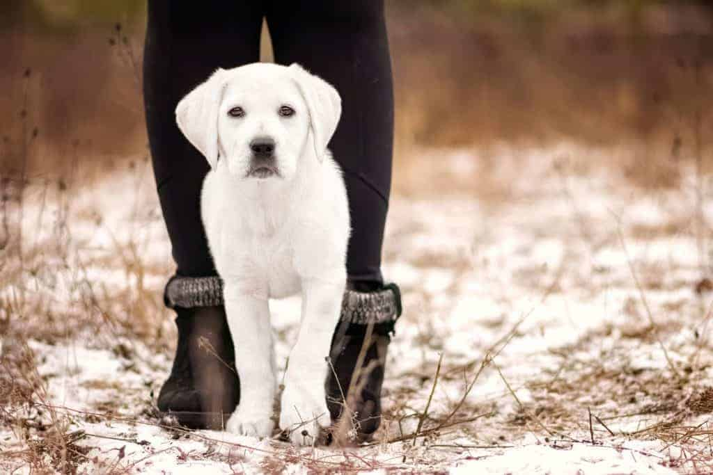 White Lab puppy one of the rescue dogs of Idaho